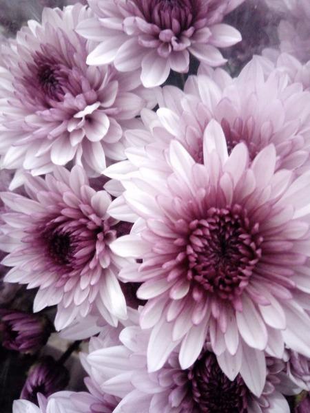 I crisantemi sono considerati portatori di bene, gioia e prosperità in tutto il mondo