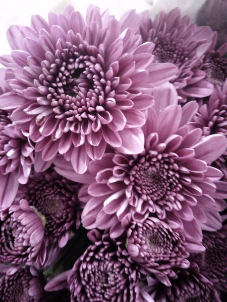Bellissimi i nostri crisantemi