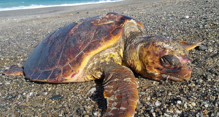 Trovata tartaruga morta a Camerota: a causare il decesso i troppi rifiuti ingeriti