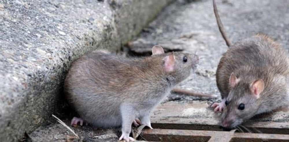 Salerno: pavimentate le aiuole a causa dei topi
