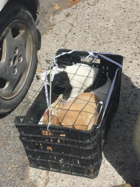 Cava de' Tirreni: trovati cagnolini chiusi in gabbia sotto il sole