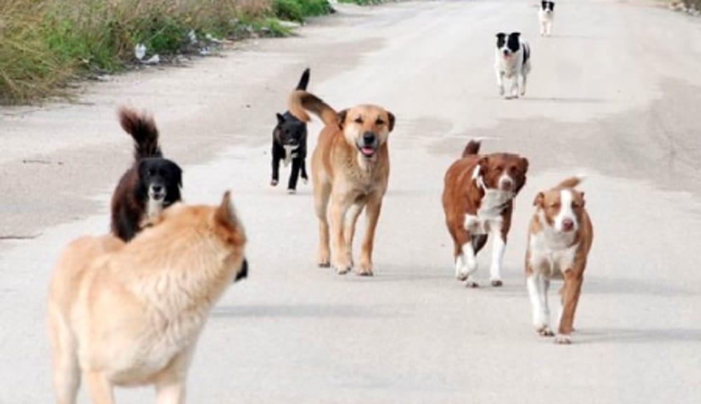 Cilentana: branco di cani invada le corsie, strada bloccata