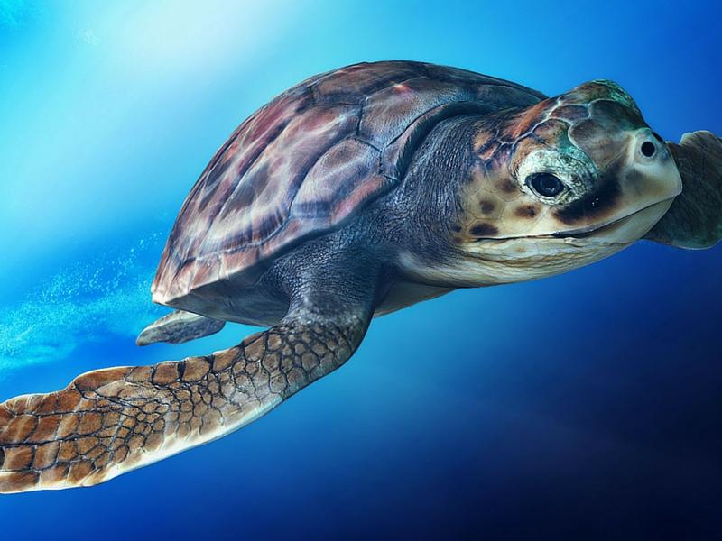 Tornano in Cilento le tartarughe caretta caretta
