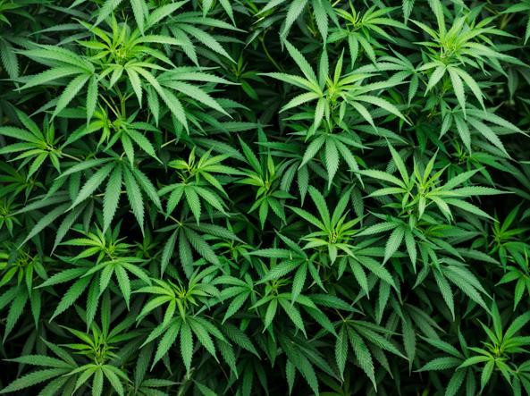 Coltivava marijuana in casa durante la quarantena. Denunciato uomo a Nocera Inferiore