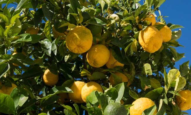 Battipaglia: ladri aggrediscono i residenti con dei limoni