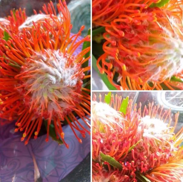 La PROTEA un fiore insolito ed appariscente