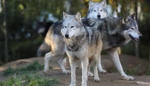 Problema lupi in provincia: uccise 5 pecore