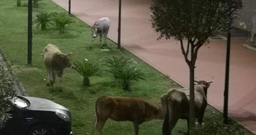 Baronissi: bovini pascolano nel quartiere Cariti