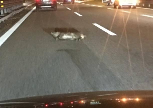 Cinghiali sull'autostrada A2. Sfiorato l'incidente