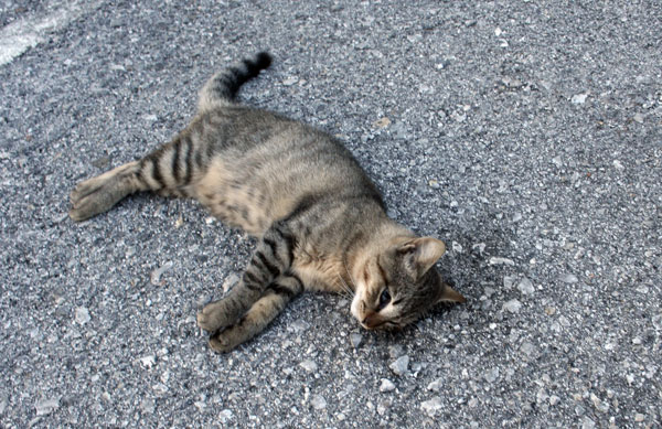 Battipaglia, continuano gli avvelenamenti sui gatti