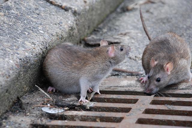 Salerno, via Vinciprova invasa da ratti. Increduli passanti e turisti